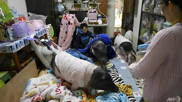 Tsai sống cùng vài người bạn và những con lợn cưng.