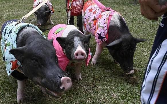 Tsai nói nuôi lợn không hề dễ dàng.